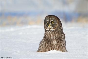 Great_Gray_Owl_9534-13