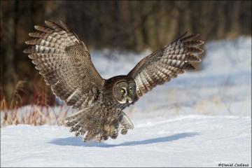 Great_Gray_Owl_9541-13
