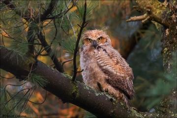 Great Horned Owl_5261-18