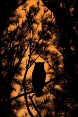 Great Horned Owl_5296-18