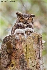 Great_Horned_Owl_5352-13