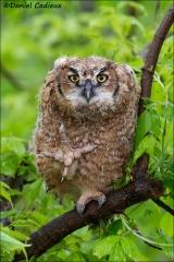Great_Horned_Owl_7761-13