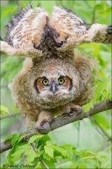 Great_Horned_Owl_8229-13