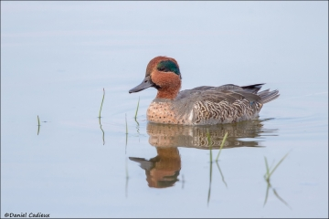 Green-winged_Teal_5233-14
