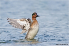 Green-winged_Teal_1659-11