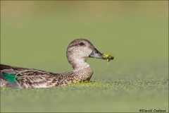 Green-winged_Teal_5515-16