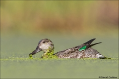 Green-winged_Teal_5625-16
