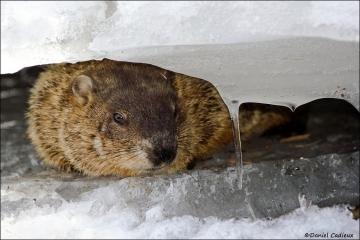 Groundhog_1587-08