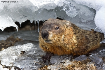 Groundhog_1629-08