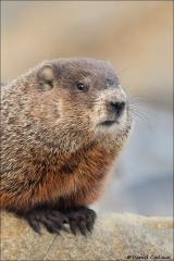 Groundhog_2092-18