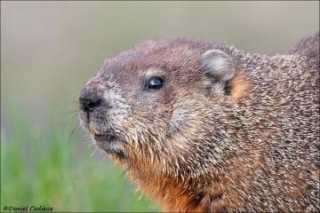 Groundhog_3651-16
