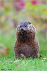 Groundhog_4154-14
