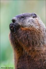 Groundhog_4172-14