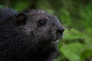 Groundhog_4776-15