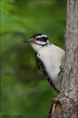 Hairy_Woodpecker_0630-15