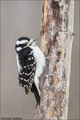 Hairy_Woodpecker_2629-17