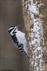 Hairy_Woodpecker_7876-16