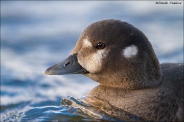 Harlequin_Duck_8919-14