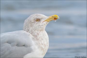 Herring Gull_0963-17