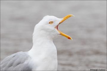 Herring Gull_4689-18
