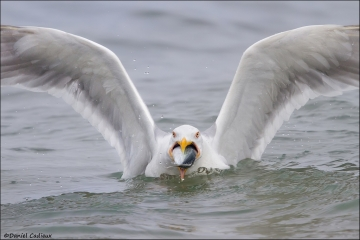 Herring_Gull_8548-14