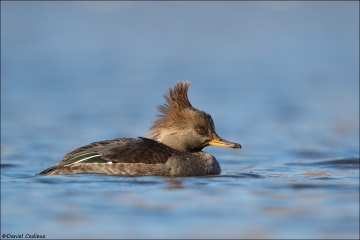 Hooded-Merganser_1191-19