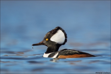 Hooded-Merganser_1203-19