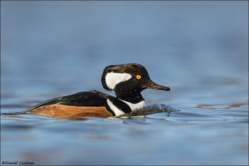 Hooded-Merganser_1217-19