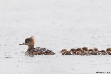 Hooded-Merganser_2770-19
