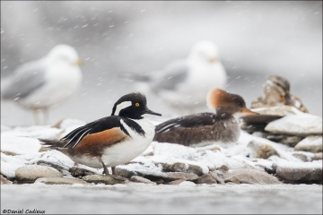 Hooded-Merganser_4330-19