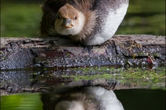 Hooded_Merganser_3817-15