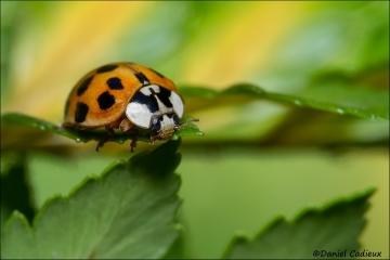 Asian_Ladybug_7424-13