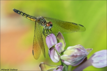 Blue_Dasher_5864-17