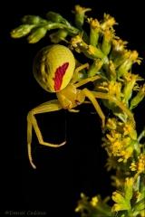 Crab_Spider_8359-14