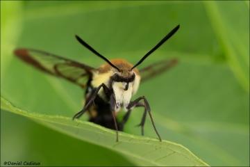 Hummingbird_Moth_9760-16