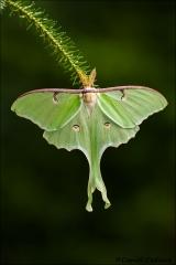 Luna_Moth_4704-09
