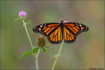 Monarch_5015-15