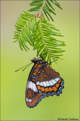 White_Admiral_Butterfly_0635-16