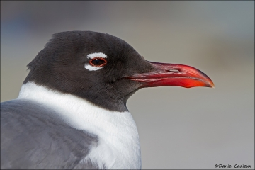 Laughing_Gull_2229-12