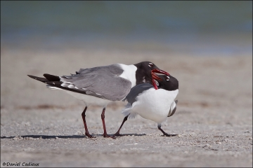 Laughing_Gull_2258-12
