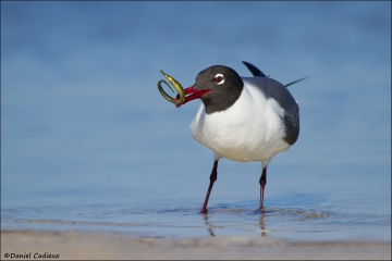 Laughing_Gull_5980-12