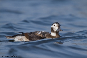 Long-tailed_Duck_1813-11