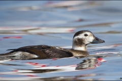 Long-tailed_Duck_1711-11