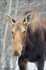 Moose_8540-14