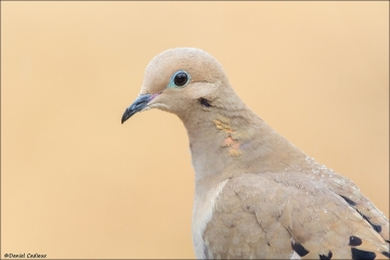 Mourning Dove_4522-18