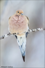 Mourning_Dove_8125-14