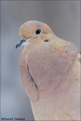 Mourning_Dove_8264-14