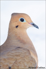 Mourning_Dove_9384-14