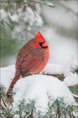 Northern-Cardinal_1015-18