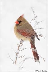 Northern-Cardinal_2614-17